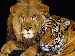 leon y tigre
